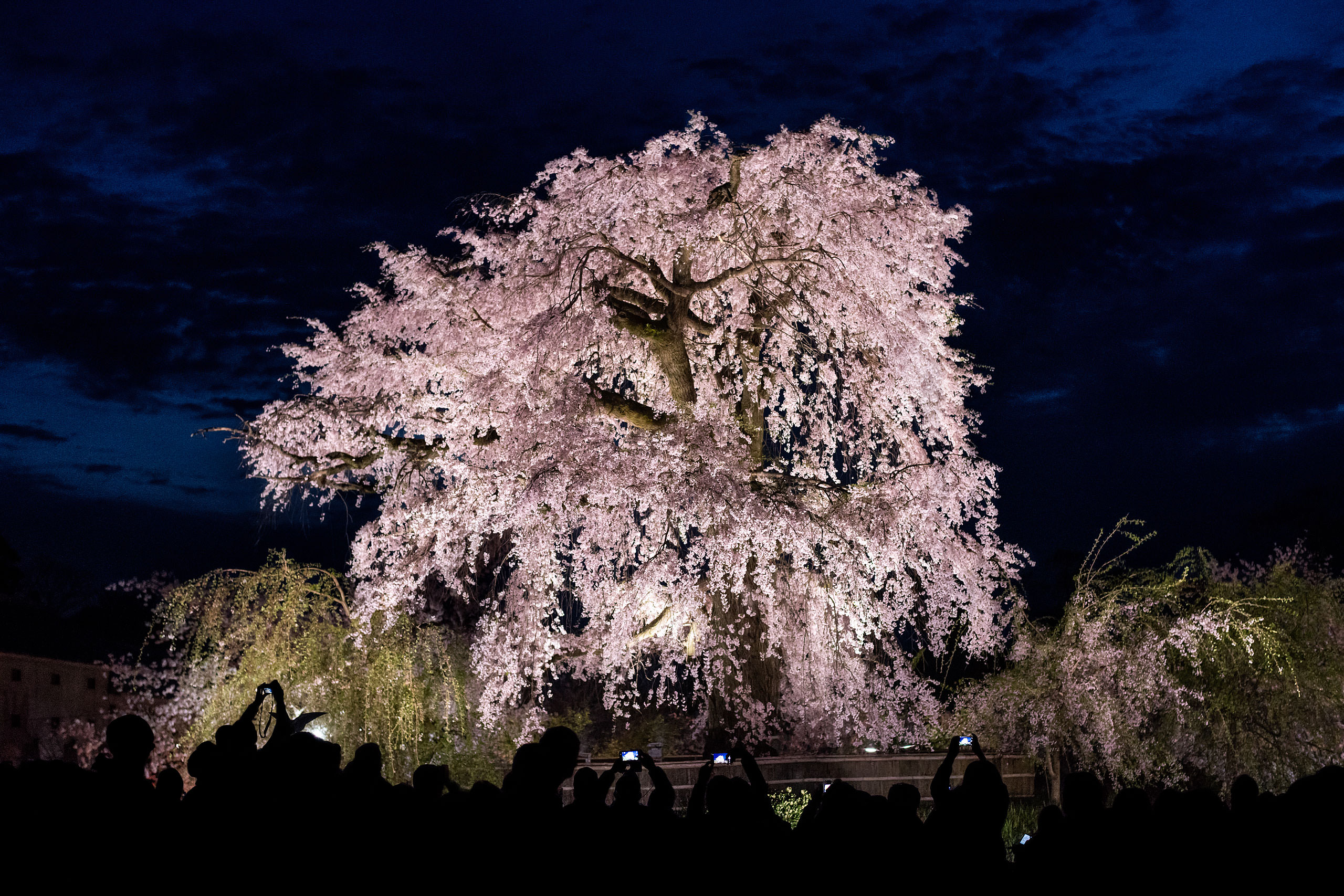 a large cherry blossom tree by Japan Destination Wedding Photographer Sean LeBlanc